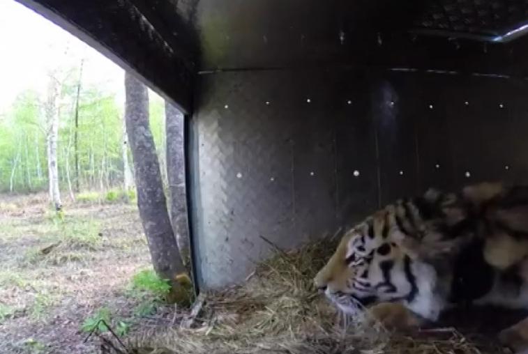 Двух тигров из Приморья готовы принять в Бурейском районе