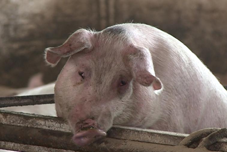 Новая вспышка африканской чумы свиней произошла в Китае