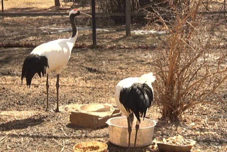 В Муравьевском парке обживаются прилетевшие краснокнижные птицы