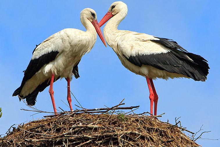 Опоры для аистиных гнезд торопятся установить в Березовском заказнике