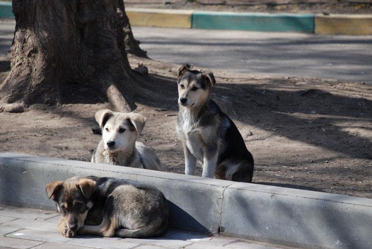 По распоряжению мэра отловом безнадзорных собак в Благовещенске займётся «ГСТК»