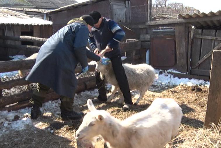 Домашний скот в Приамурье прививают от туберкулеза и сибирской язвы