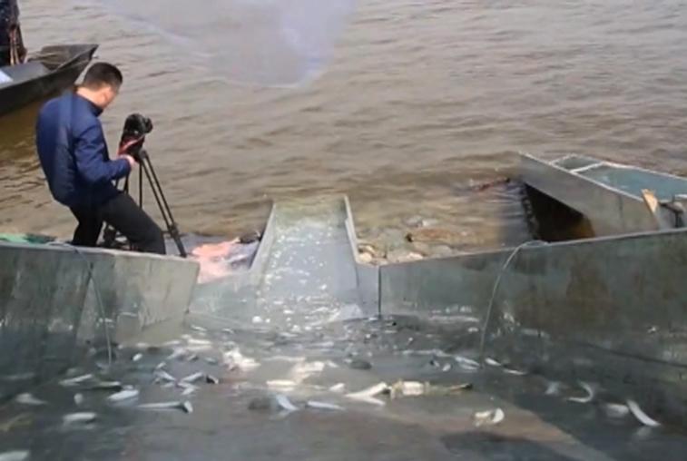 2 миллиона мальков выпущено в Амур китайскими специалистами