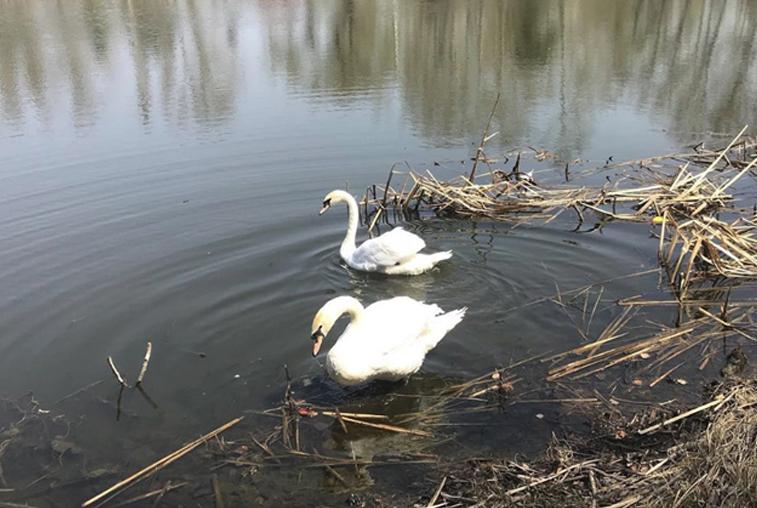 Возвращения пары лебедей на озеро ждали с нетерпением жители и гости Ивановки