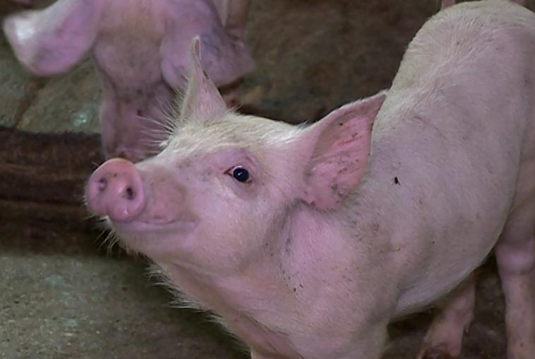 Вспышки ящура привели к поголовной вакцинации свиней в Приамурье