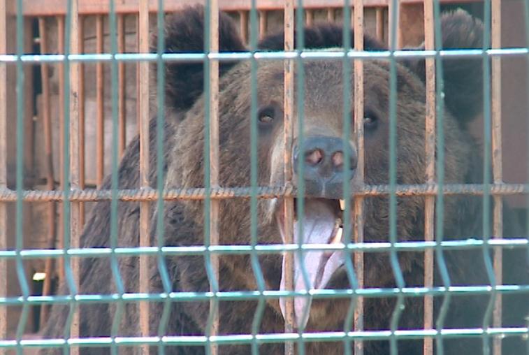 Амурчанка с разодранной медведем рукой сама виновата в нападении