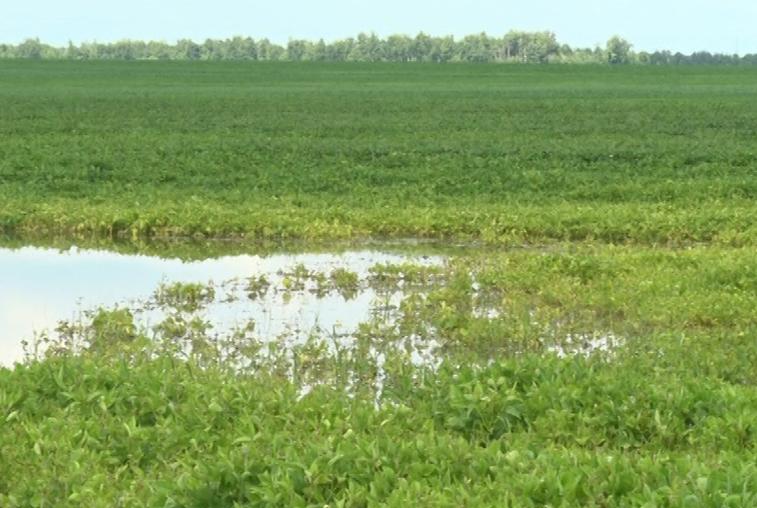 В Амурской области дожди затопили почти 140 тыс. га посевов