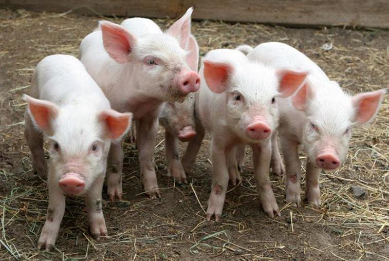 Из-за вспышки африканской чумы свиней на убой пойдут 700 голов
