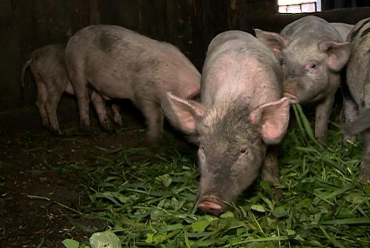 В связи со вспышкой африканской чумы свиней в области проверят всех животных