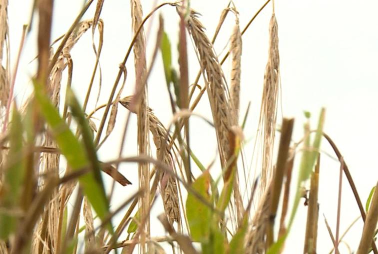 По области идет уборка всех основных ранних зерновых культур