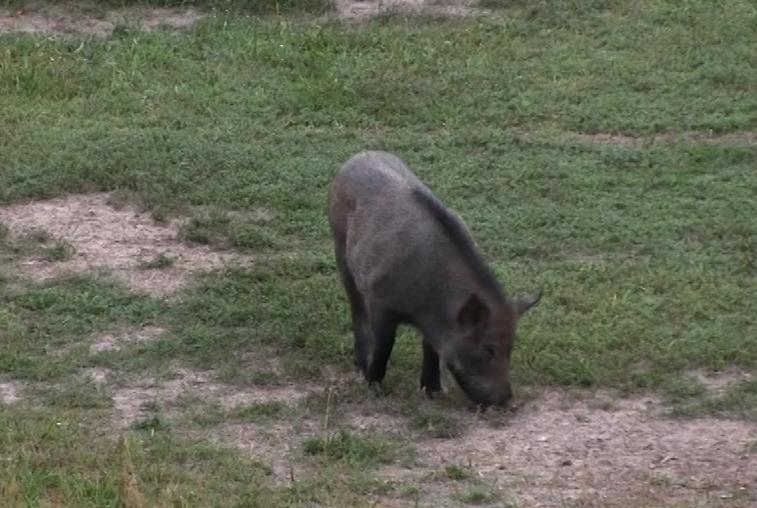 Вспышка африканской чумы свиней привела к ограничениям в охоте на диких кабанов