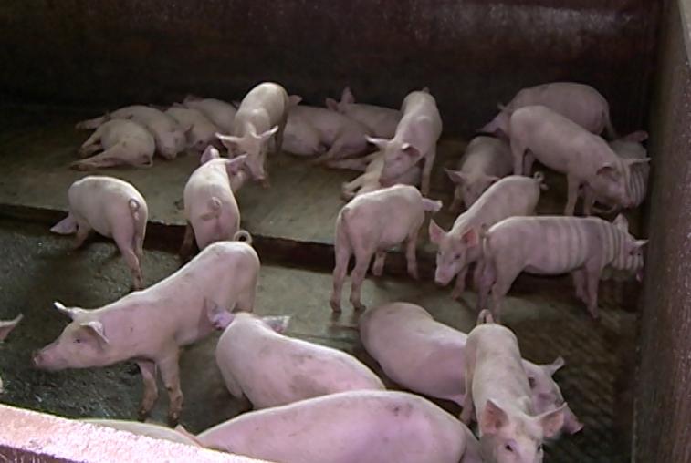 В Волково выявлена африканская чума свиней