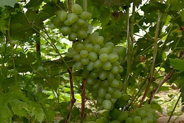 Теплолюбивая ягода в Приамурье: садовод-любитель выращивает несколько сортов винограда
