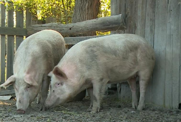 Борьба с АЧС: специалисты пытаются защитить крупные свиноводческие комплексы