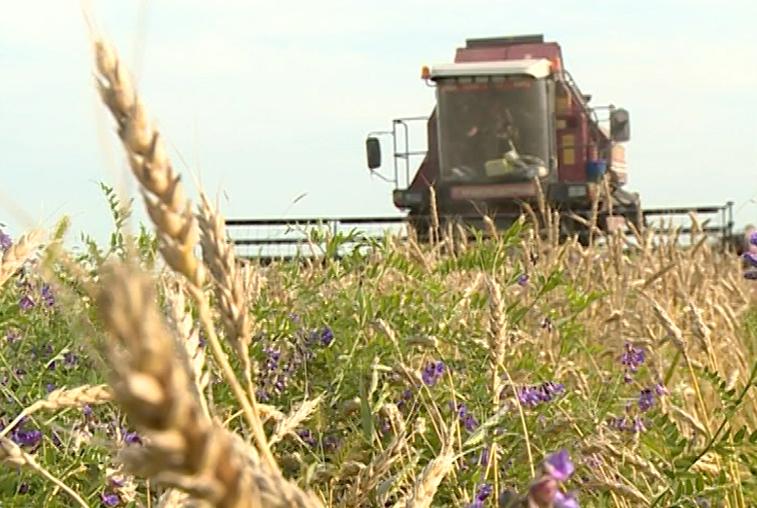 Амурские аграрии завершают уборку ранних зерновых и приступили к сбору поздних