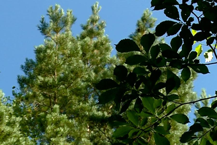 Благовещенские лесничие проводят инвентаризацию лесных культур