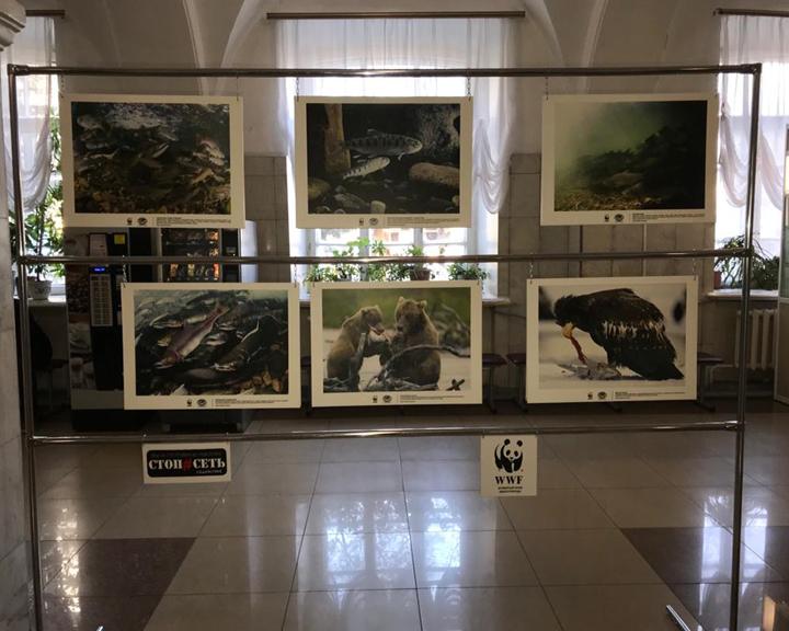 В БГПУ открылась фотовыставка «Лосось, которого мы можем потерять»