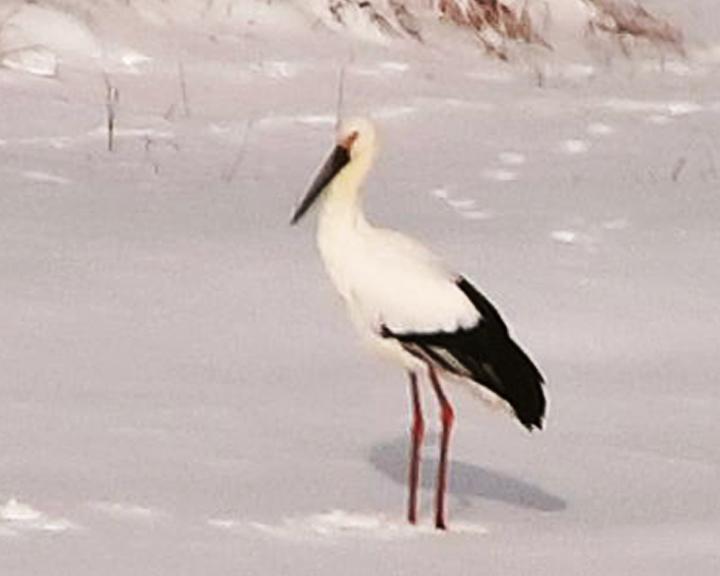 Жители Усть-Ивановки заметили дальневосточного аиста, не улетевшего в теплые края на зимовку