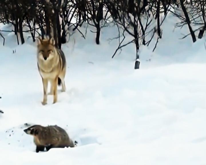 Амурские эксперты предлагают увеличить финансирование, которое выделяют на сокращение популяции волков