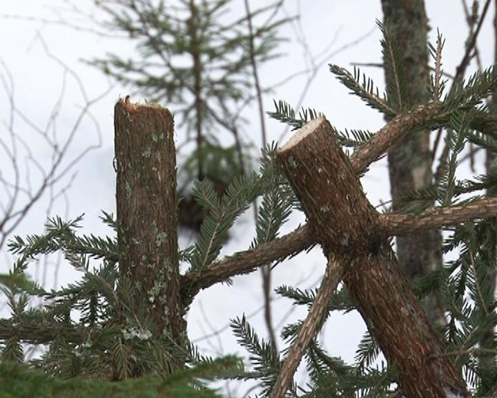 700 незаконно вырубленных деревьев в Свободненском районе выявила проверка Минлесхоза