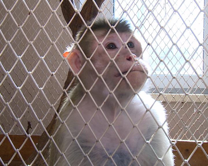 В зоопарке при Амурском биолого-туристическом центре отметили день рождения мартышки