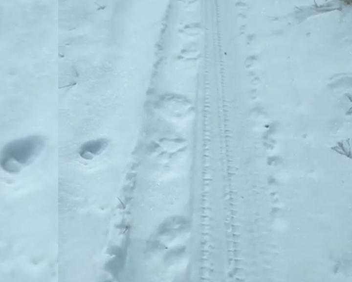 Житель села Кундур наткнулся на следы тигра