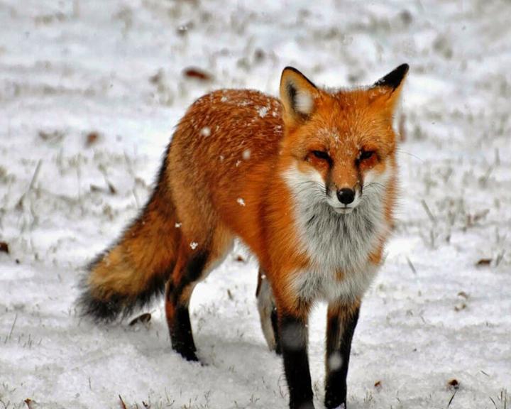 В Приамурье защитят диких животных от бешенства