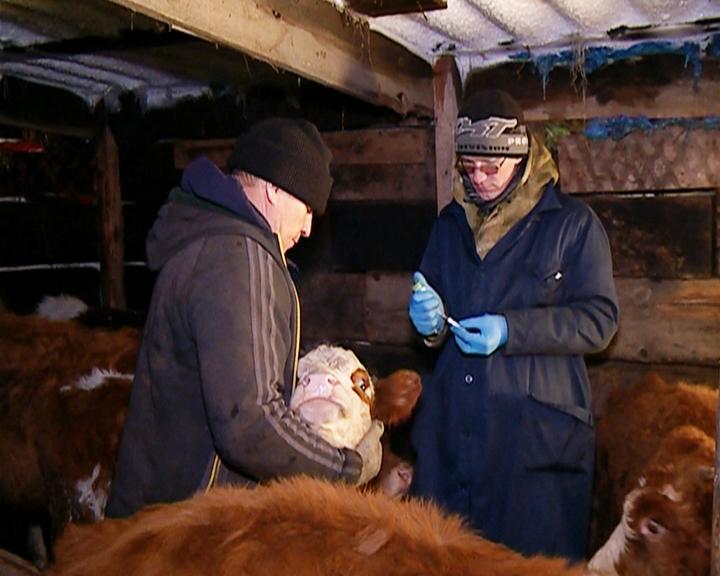 Некоторые амурские животноводы отказываются вакцинировать живность от ящура