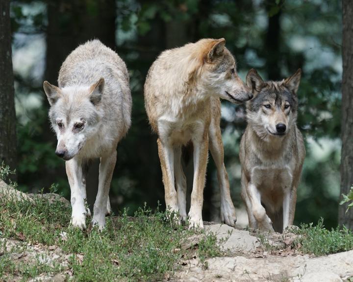 Отстрел волков: популяцию хищников возьмут под контроль