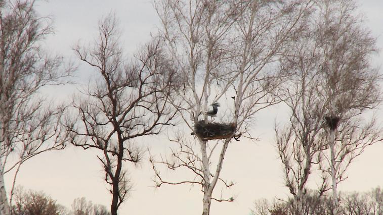 Дальневосточные аисты вернулись домой после зимовки