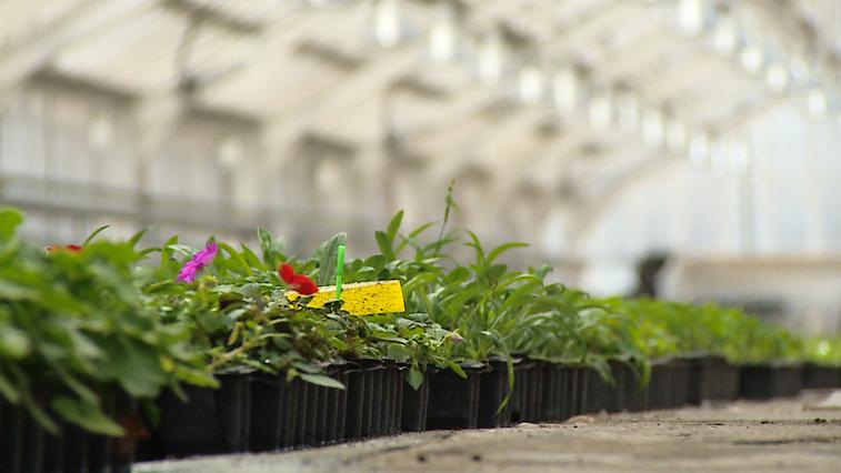 Амурские садоводы высадят в Благовещенске больше 370 тысяч цветов