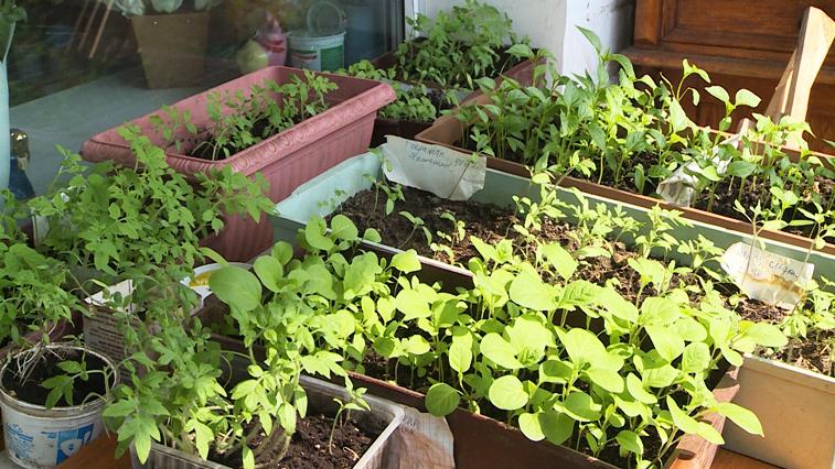 Садить или не садить: Благовещенские садоводы и огородники выращивают рассаду на балконе