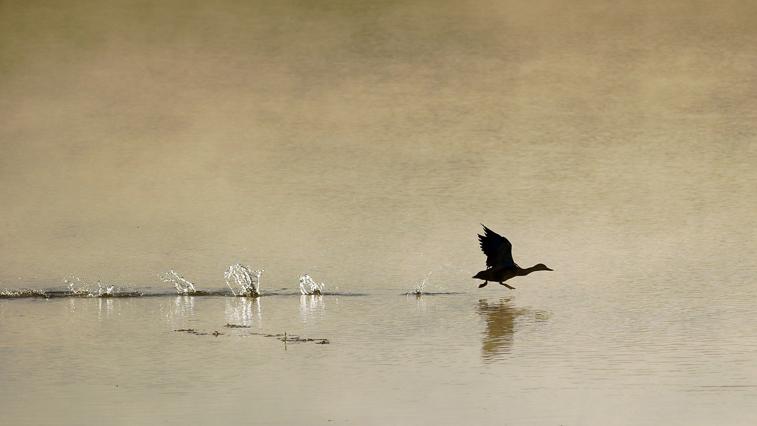 Весеннюю охоту на водоплавающую дичь в Амурской области не откроют