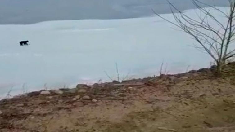 Видео с медведем и диким козлом разместили амурчане в сеть