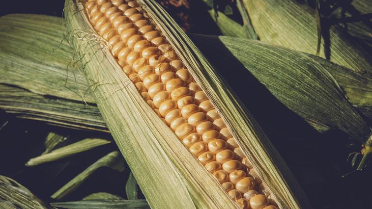 Раньше обычного срока амурские аграрии приступили к севу кукурузы