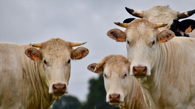 16 коров пытался незаконно вывезти из Амурской области житель Хабаровского края
