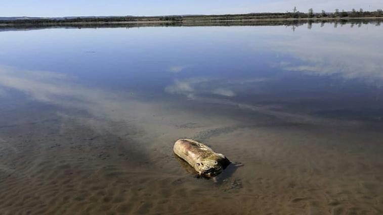 К берегу Амура прибило трупы животных