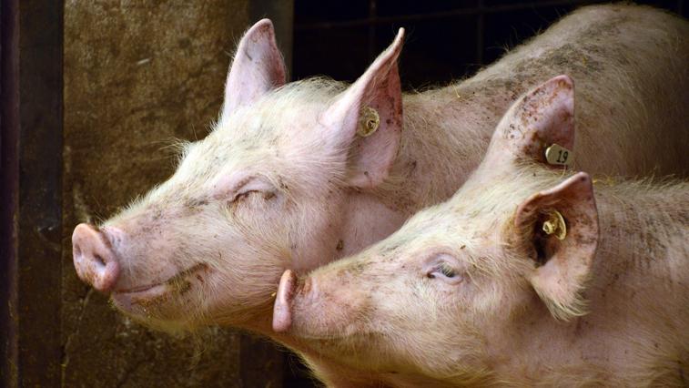 Жители Усть-Ивановки нашли трупы домашних свиней на окраине села