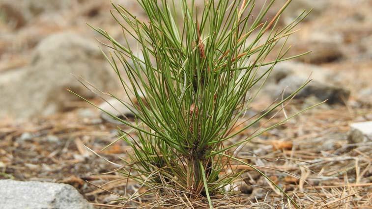 9 миллионов сосен и лиственниц высадят сотрудники лесхозов в Амурской области