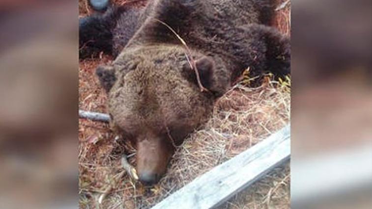 В п. Восточной застрелили медведя, который накануне перевернул мусорные контейнеры