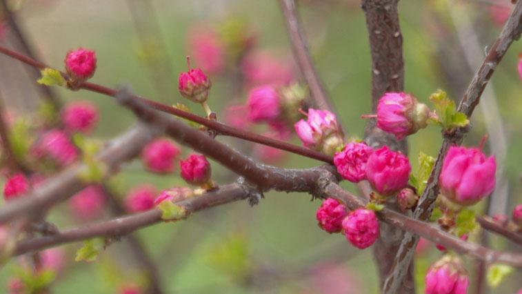 В Россельхозцентре просят амурчан не делать букеты из цветущих сейчас деревьев