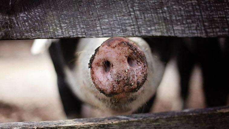 В 3 районах Приамурье незаконно разводили свиней: запрет из-за АЧС еще не истек