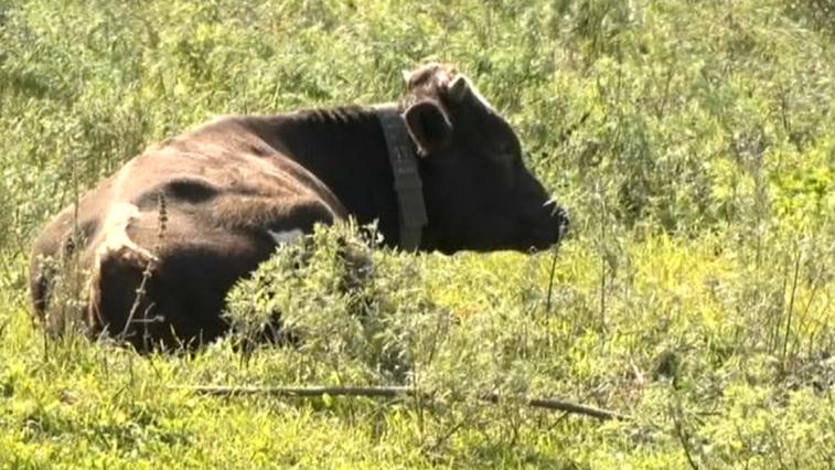 Амурским владельцам беспризорных коров грозят рублем