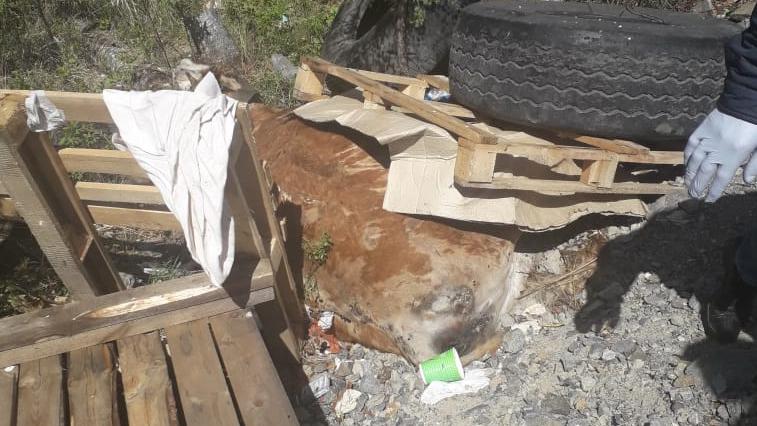 Труп коровы, обнаруженный на трассе, проверят на опасные заболевания