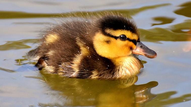 В Приамурье почти на 19 тысяч особей увеличилась численность водоплавающих птиц