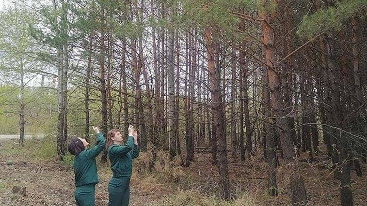 Время считать шишки. В амурских лесхозах прогнозируют осенний урожай семян деревьев