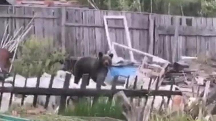 Медвежонок встревожил тындинских дачников