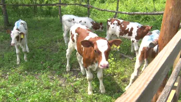Крупную партию молодых бычков доставили в с. Мазаново, пострадавшее от наводнения в 2019 г.