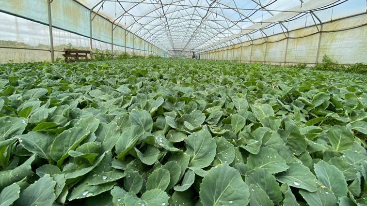 В Амурской области долю овощей местного производства на рынке планируют довести до 80%
