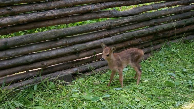 В природном парке «Зейский» приютили косуленка, которого «спасли» амурчане